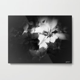 Mixed color Poinsettias 1 Dark Metal Print