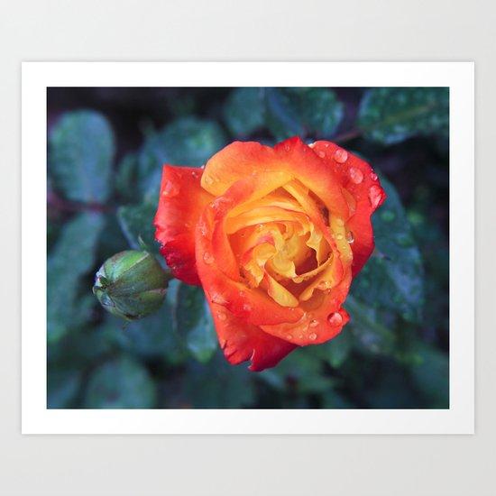 Multicolor Rose Art Print