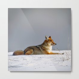 Feelin' Foxy Metal Print