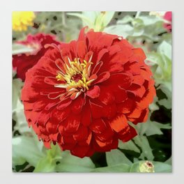 Flowers in Bloom - Red Zinnia Canvas Print