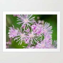 Lavender Mist Meadow Rue - Thalictrum rochebrunianum 5 Art Print