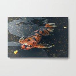 Butterfly Koi Fish - Animal Photography Metal Print