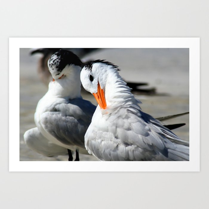 Royal Terns Art Print