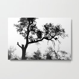 African White-backed Vultures Metal Print