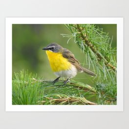 Yellow-breasted Chat Art Print