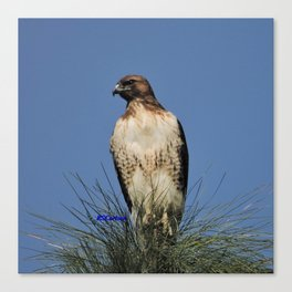 Red-Tailed Hawk on Watch at Foothill and B Street Canvas Print