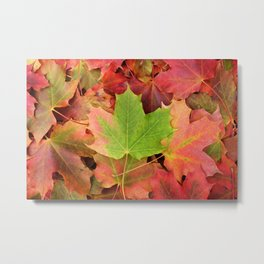 Autumnal red and green maple leaves Metal Print