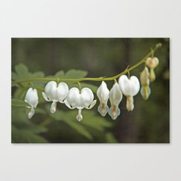 White Bleeding Hearts with Green Canvas Print