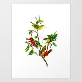 Painted Finch Bird Art Print
