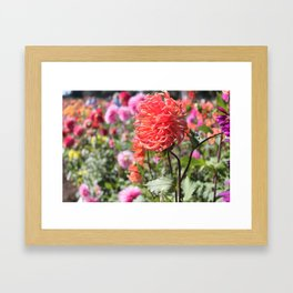 dahlias Framed Art Print