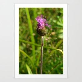 Carduus acanthoides plant, Dolomiti mountains, Italy I Art Print