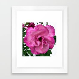 Bodacious Pink Rose   Large Pink Flower   Nature Photography Framed Art Print