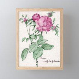 Rosa Centifolia Foliacea Framed Mini Art Print