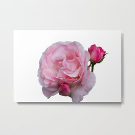 isolated pink rose whit bud Metal Print