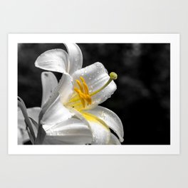 Lily flower covered by raindrops Art Print
