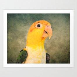 White Bellied Caique Parrot Art Print