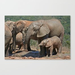 Elephants have fun with water - Africa wildlife Canvas Print