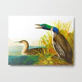 Great Norther Diver or Loon John James Audubon Scientific Birds Of America Illustration Metal Print
