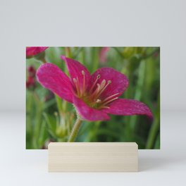 Saxifrage Flower Mini Art Print