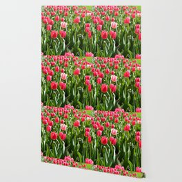 Spring red tulip flowers. A botanical garden.  Floral photography. Wallpaper