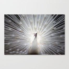 The white peacock Canvas Print