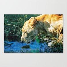 Lion Drinking Canvas Print