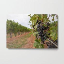 Grapes in a vineyard along Niagara on the Lake Metal Print