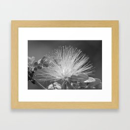 Calliandra Flower Framed Art Print