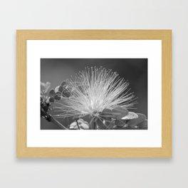 Calliandra Flower Framed Art Print