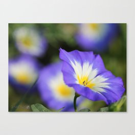 Morning Glory named Blue Ensign Canvas Print
