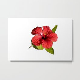 A Red Hibiscus Flower Isolated On White Background  Metal Print