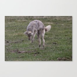 Coyote Hunting Canvas Print