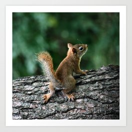 Young Red: Juvenile Red Squirrel Art Print