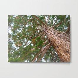 Mammoth pine tree from below Metal Print