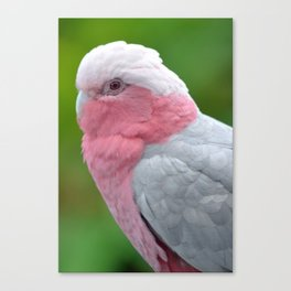 Beautiful Rose Breasted Cockatoo Canvas Print