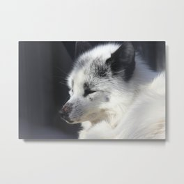 White fox close-up in sunny day. Metal Print