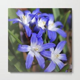 Early Spring Blue - Chionodoxa Metal Print