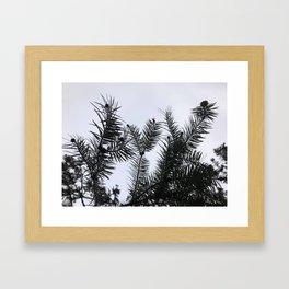Silver Fir Abies Alba Abstract Framed Art Print