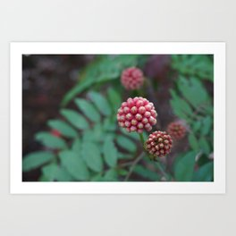 Pink Calliandra Buds Art Print