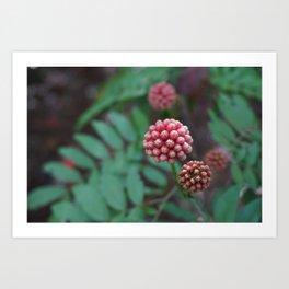 Pink Calliandra Buds Art Print