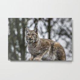 Lynx. Metal Print