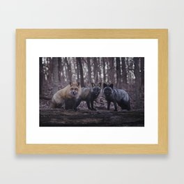 Red Fox (Vulpes vulpes) Color Phases Framed Art Print