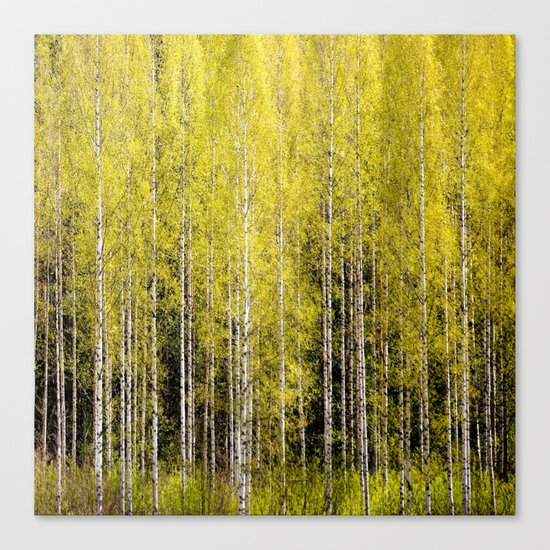 Lovely spring atmosphere - vibrant green leaves on the trees - beautiful birch grove Canvas Print