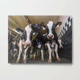 Cow Sisters Metal Print