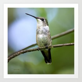 Female Hummingbird Art Print