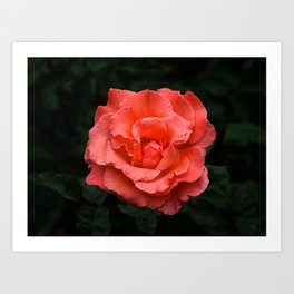 Touch of Class hybrid orange rose is blooming Art Print