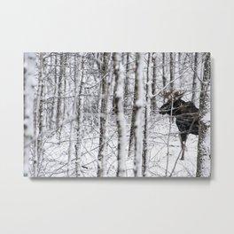 Glimpse of Bull Moose Metal Print