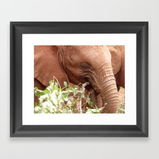 Young elephant feeding Framed Art Print