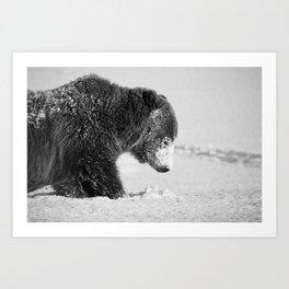 Alaskan Grizzly Bear in Snow, B & W - I Art Print