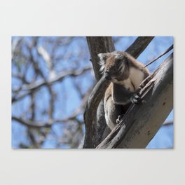 Koala on the Great Ocean Road Canvas Print